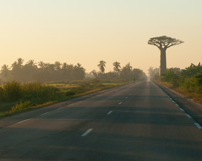 Baobab on the road to Morondava