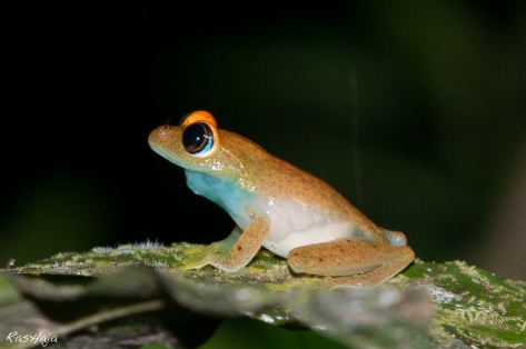 Madagascar Green bright-eyed frog
